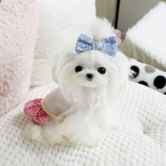 Tiny Fall is for sale she is currently 6 months old only 600 grams estimated  pounds fully grown extreme baby doll face we ship world wide ✈️ Text Call Whatsapp 1-403-891-6028 #maltese #tiny#yorkie#little#fluffy #amazing #love #best #puppiesforsale