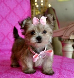 Tiny Teacup Yorkie/Maltese Mix. Like I would ever be allowed to have this adorable