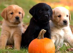 Too Cute - Puppy Cuteness, Three little Labs. Look out Vegas, you could have 'lil buddies moving