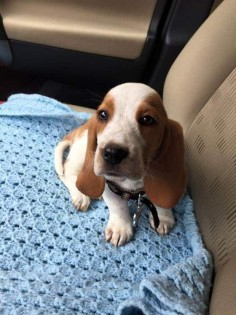 Top 10 Things Basset Hounds Dont Like