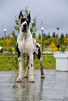 Top 5 World's Largest Dog Breeds The Great Dane is one of the world's tallest dog breeds. The world record holder for tallest dog was a Great Dane called Zeus who measured 112 cm (44 in) from paw to  large size belies their friendly nature, as Great Danes are known for seeking physical affection with their