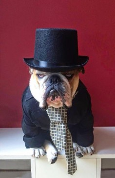 top dog. English Bulldog