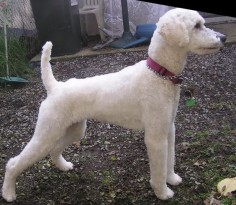 Toy Poodle Haircuts | This was before she was mine, though I groomed her. She has pointy ...