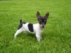 Toy Rat Terrier