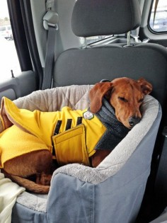 Travel Bed that's Safe for your dog in the Car // Ammo the Dachshund