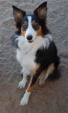 Tri Color Border Collie | BORDER COLLIE MIX | Pinterest