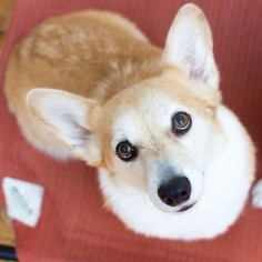 Trinket the Pembroke Welsh Corgi