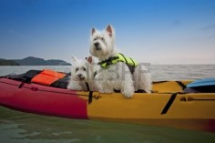 two cute West Highland White Terrier dogs on kayak boat Stock Photo