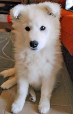 via the Daily Puppy  Puppy Breed: Samoyed  Zoey is a four-month-old Samoyed puppy from southern Spain. She's very sweet, affectionate and loves learning new tricks--in both English and Spanish! Her favorite activities are chasing her best friend, Gizmo, napping on her back with her legs up in the air, hiccuping daily, and tasting everything in sight.