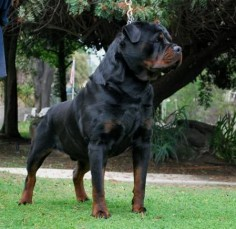 Von Ruelmann Rottweilers inc - German Rottweiler Puppies For Sale, German Rottweiler Breeder, Purebred Rottweiler Puppies For Sale : Other