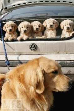 vw and goldens ♥
