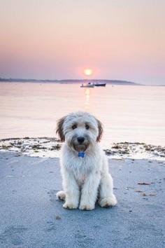 Waffles, a Soft-coated Wheaten Terrier from Southampton, Massachusetts.