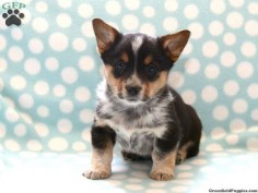 Welsh Corgi/Blue Heeler mix. I need to someday have a corgi mix