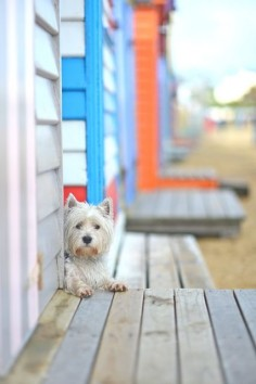 West Highland White Terrier ~ Peekaboo!