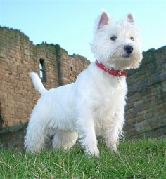 West Highland White Terrier. We have a Westie named Myles. He has his own little personality!