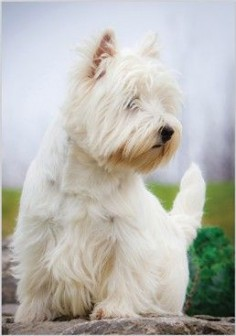West Highland White Terrier (Westie).