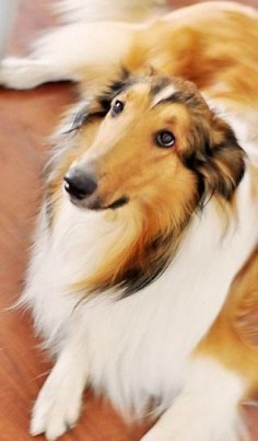 What a beautiful collie!