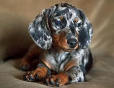 What a Beautiful Dachshund!