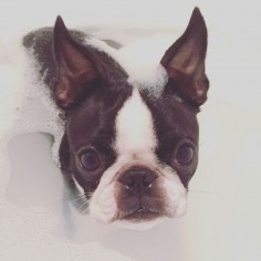 What happens when you take a beautiful Boston Terrier and pose her in some amazing photos? THIS. Scout is back on iBostonTerrier and she is here to steal your heart! Scout's mom, Nicolle, sen…