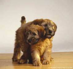 Wheaten Terrier puppies playing - beyond cute!