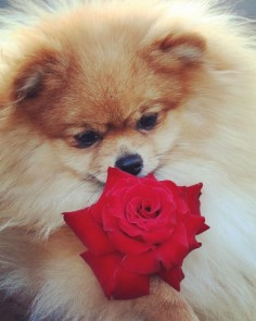 : When you don't have a Bae on Valentine's Day but Simba gives you a rose   #Winnie #valentinesday #thatsiblingkindoflove #rose  Photo credit : @linkinnz by poppy_simba_winnie_phoebe #mypomeranianfriends @mypomeranianfriends