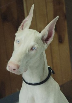 White Albino Doberman. ♥ ... 30 Rarely Seen Albino Animals From Around The World.