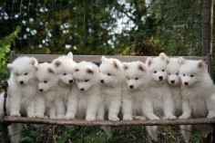 White German shepherd puppies ... Berger blanc suiss