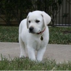 "White Labrador retriever. While there really is no such thing as a ""white Lab,"" these dogs are really bred to be a very light colored variation of the yellow Lab"