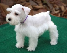 white schnauzer | White female miniature schnauzer purple neck rope #2674284