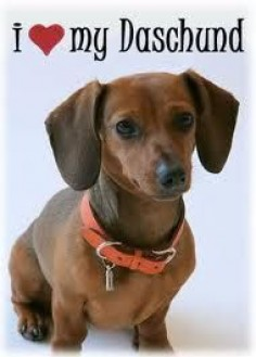 Who can resist a cute wiener dog?