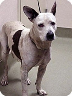 Wildomar, CA - Pit Bull Terrier/Australian Cattle Dog Mix. Meet Annie, a dog for adoption.