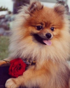 : WILL YOU BE MY VALENTINE? Photo credit : @linkinnz by poppy_simba_winnie_phoebe #mypomeranianfriends @mypomeranianfriends