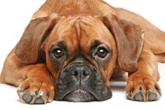 """Will you share some of what you're eating?"" Click on this image to find even more #Boxer #dog images"