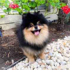Wishing you a #happyweekendeveryone @thepom__ #lacyandpaws #mypomeranianfriends by lacyandpaws