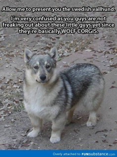 Wolf Corgi = This awesome dog