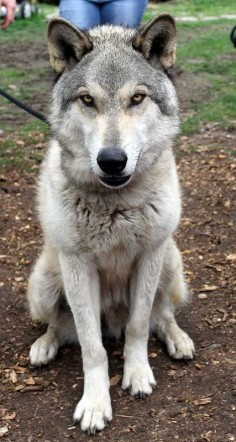 wolf dog I'd like to rescue but I'm not sure how Xena will react.