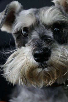Wow this is one super adorable little salt and pepper mini schnauzer puppy, so cute