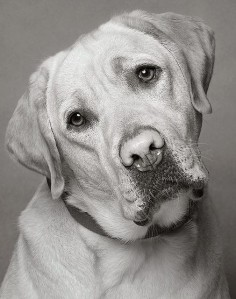 yellow lab.