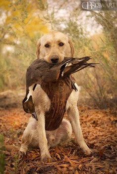 Yellow Labrador retriever duck hunting. Nevada lab puppy with a pintail. #hunting #dog #1816 #remington