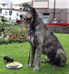 """You must wait until I finish, I am the boss here"". - The Pet's Planet - This cute dogs seems to be unaware of it's size.  Irish Wolfhound and Chihuahua"