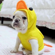 """You quack me , don't you get it?"", French Bulldog Puppy."