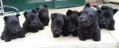 zomg scottie puppies Beautiful scottie babies!