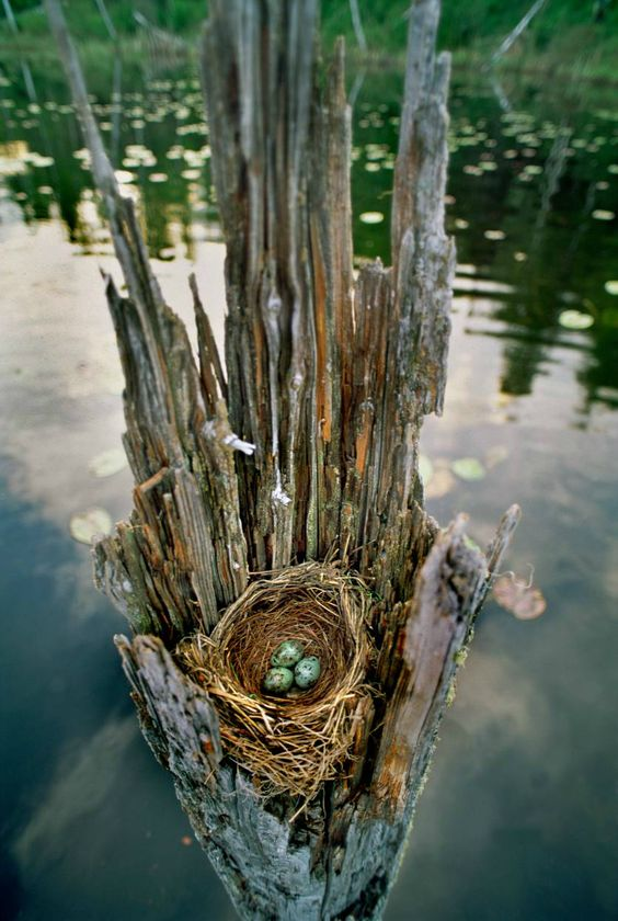 Gorgeous! Water logged tree stump cradling a nest with three blue eggs. #birdsnest # ...