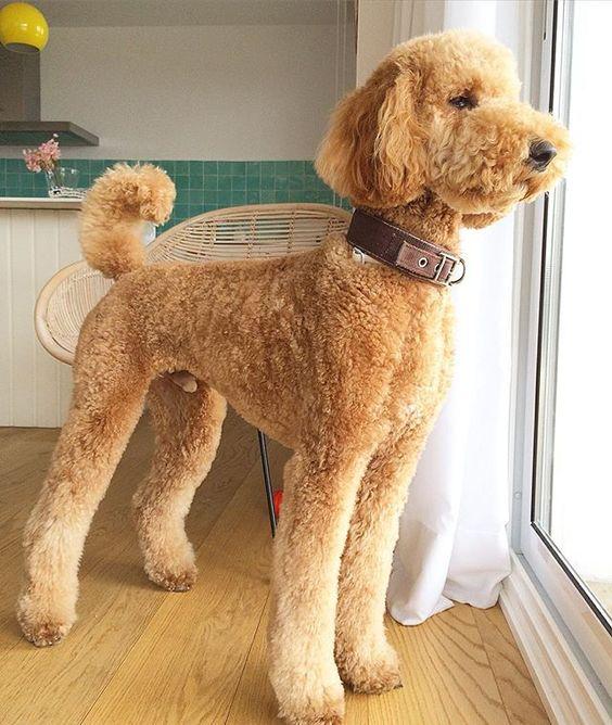 Standard poodle teddy bear clip