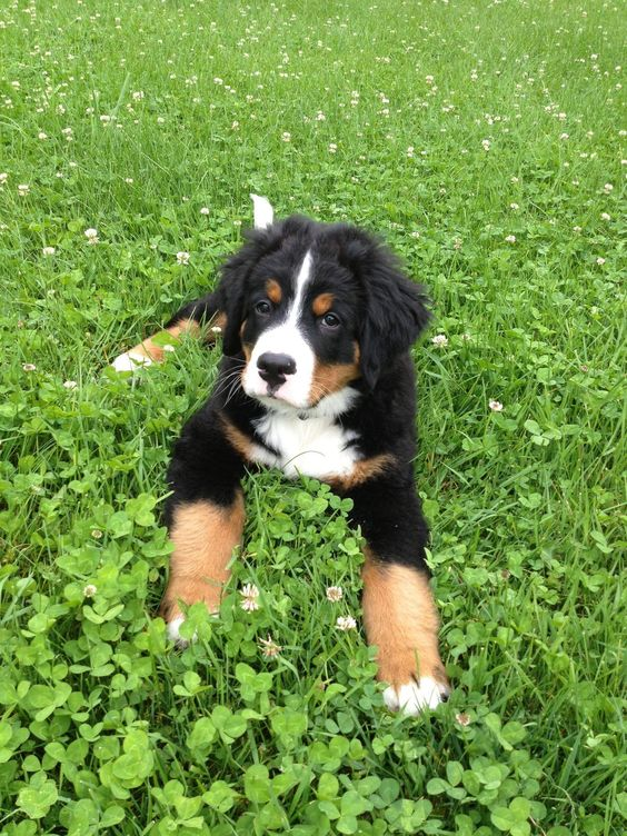 Bernese Mountain Dog puppy. #dogs #animal #bernese #mountain