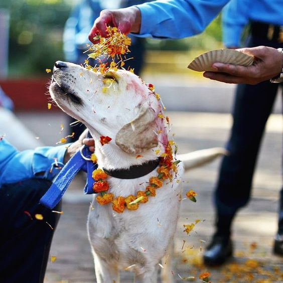 From Kukur Tihar The Nepalese Festival Which Thanks Dogs