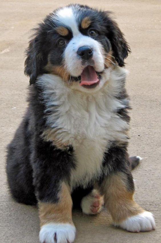 If I ever live where its really  would love to own a Bermese Mountain dog. I love their black, brown and white