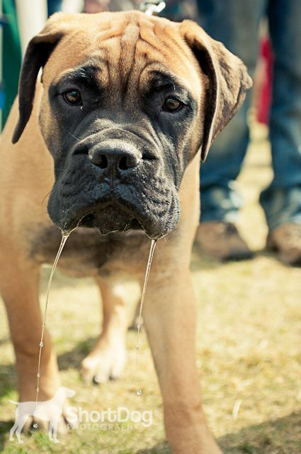 never interrupt a bullmastiff puppy mid drink. Black Bedroom Furniture Sets. Home Design Ideas