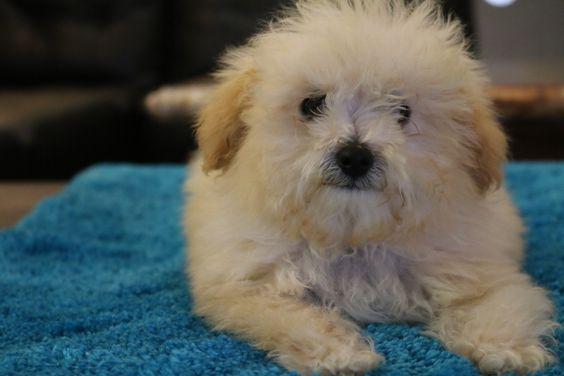 Moto Guzzi California >> Puppies For Sale - Tiny Toy Goldendoodle, Micro Mini ...