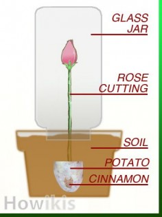 Propagate Roses Using Organic Materials as Root Hormone Which Everyone Has In Their Cupboards: Cinnamon and Potatoes - HOWikis